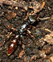ant - Stigmatomma pallipes
