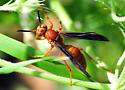 Big Red Wasp - Polistes
