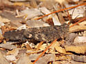 Crackling Locust - Trimerotropis verruculata - male