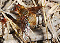 Orange County Bee Fly Archives #295 - Rhynchanthrax
