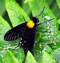 Chrysopilus thoracicus - female