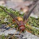 sawfly - Tremex columba - female