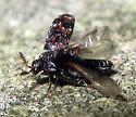 Carpet Beetle - Trogoderma