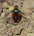 Tawny-tailed Bee Fly (Villa fulviana) - Villa harveyi