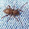 Unknown Brown beetle - Plectrura spinicauda