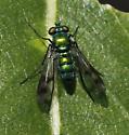 Long-legged Fly - Condylostylus sp - Condylostylus