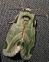 Heminocloa mirabilis
