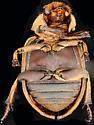 Hastate hide beetle, ventral - Omorgus suberosus