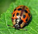 Beetle - Chrysomela