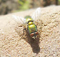 Blow Fly - Lucilia