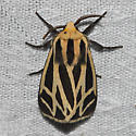 Harnessed Tiger Moth - Hodges#8169 - Apantesis phalerata