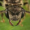 sweat bee - Sphecodes davisii - female