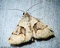 2309  Hemeroplanis incusalis ? - Hemeroplanis incusalis