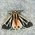 Harnessed Tiger Moth? - Apantesis phalerata - male