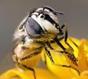 unknown syrphid - Copestylum marginatum - female