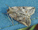 Unknown Moth - Abrostola urentis