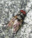 Root-Maggot Fly - Anthomyia oculifera