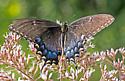 BflyTigerSwallowtail_Papilio07232017_CV_ - Papilio glaucus
