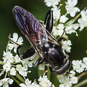 Chalcosyrphus piger