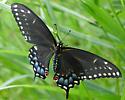 Black Swalowtail - Papilio polyxenes - female