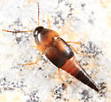 rove beetle - Sepedophilus littoreus