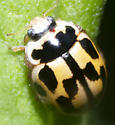 14 spotted lady beetle? - Propylea quatuordecimpunctata