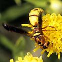 Eumenid  - Dolichodynerus tanynotus