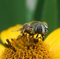 Syrphid Fly sp. - Eristalis stipator