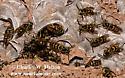 Wasp Nest - Vespula pensylvanica