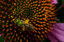 Green bee on a cone flower - Agapostemon virescens