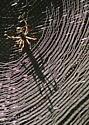 Web of Golden Silk Spider - Nephila clavipes