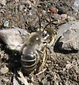 Cellophane Bee #1? - Colletes inaequalis - male - female