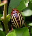 Colorado Potato Beetle (Leptinotarsa decemlineata)? - Leptinotarsa decemlineata