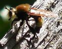 Robber Fly IV - Laphria posticata - male