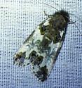 Cerma cerintha - Tufted Bird Dropping Moth - Cerma cerintha