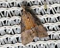 two-tone brown Crambid moth - Hypena scabra