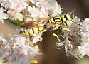 Crabonidae, ? Philanthus - Philanthus multimaculatus
