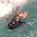 Fly with fungus - Musca domestica