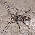 Oak Borer Longhorned Beetle - Enaphalodes atomarius