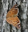 Fritillary? - Asterocampa celtis - female