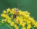 Chauliognathus pensylvanicus - Goldenrod Soldier Beetle - Chauliognathus pensylvanicus