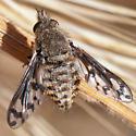 Conophorus fenestratus? - Conophorus fenestratus - female