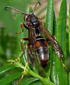 Yellow Face Wasp - Polistes fuscatus - male