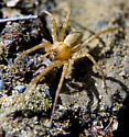 Is this Grass spider utahana? - Agelenopsis