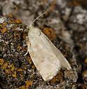 moth ? - Archips negundana