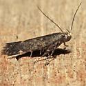 Monochroa pullusella