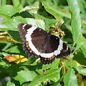 Limenitis arthemis rubrofasciata - Limenitis arthemis - female