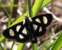 Eight-spotted Forester Moth - Alypia octomaculata