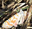 Ornate Bella Moth - Utetheisa ornatrix