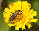 Beetle ID? - Chauliognathus pensylvanicus